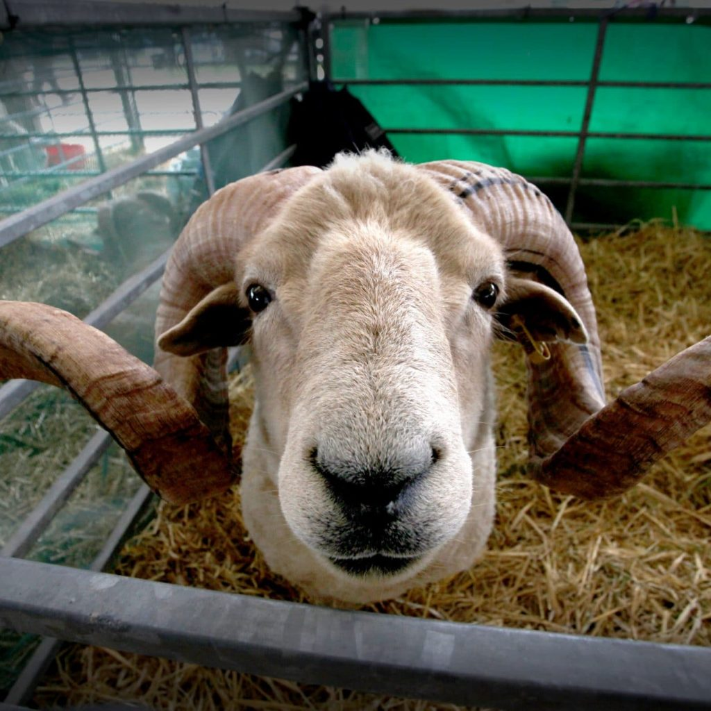 Record sheep entries at the Great Yorkshire Show 2018