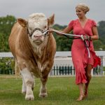 Lizzie Jones meeting British Simmental bull