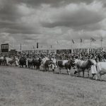 1954 Cattle Parade at the Yorkshire Show