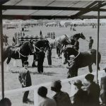Heavy horses at the Great Yorkshire Show 1954